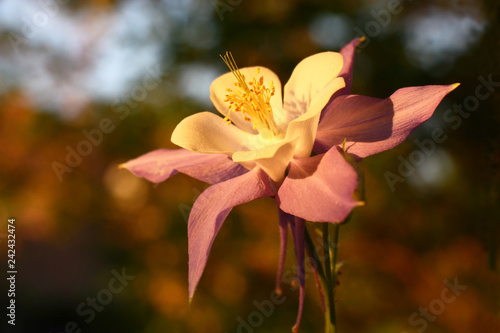 Photographie Flower of a aquilegia and other garden plants at evening lighting create very interesting palette of paints