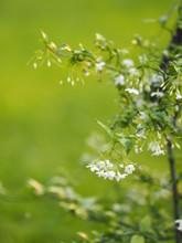White Flower Orange Jasmine  Beautiful Bunch