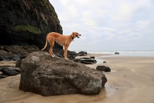 Dog Standing On Rock On Beach