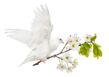 Flying White Dove With Cherry Tree Branch In Blooms