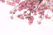 Beautiful Of Cherry Blossom Or Sakura Flower In The  Nature Garden On White Background