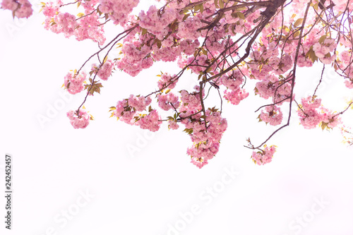 Beautiful of Cherry Blossom or Sakura flower in the nature garden on white background
