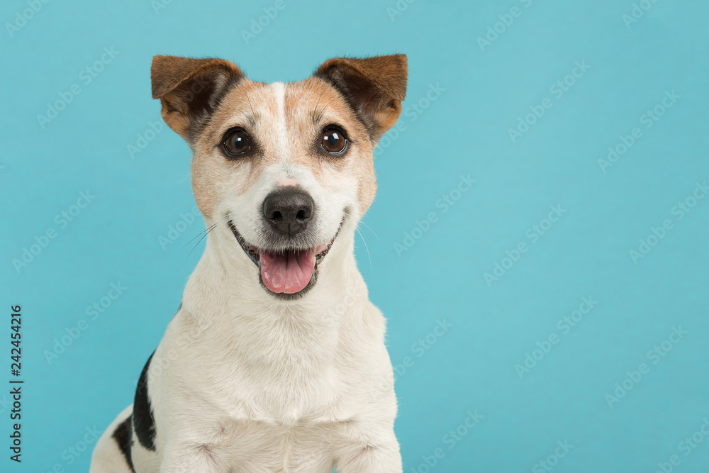 Fototapety, obrazy: Portrait of a cute smiling Jack Russell terrier dog seen from the front on a blue background