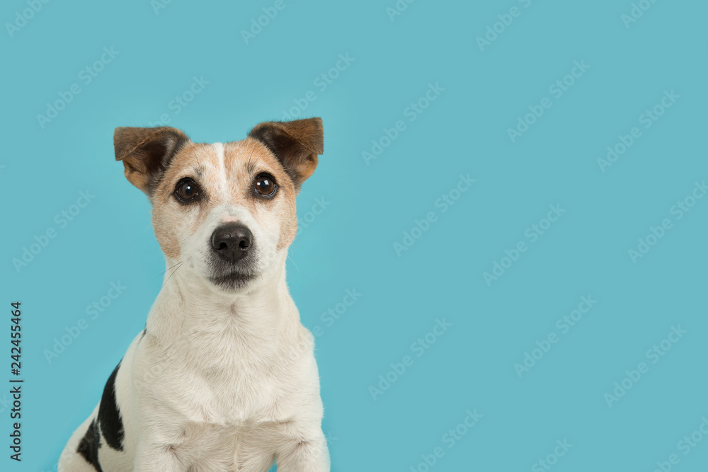 Fototapety, obrazy: Cute jack russell dog portrait looking up on a blue background