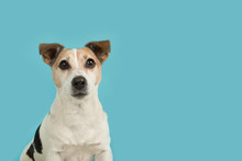 Cute Jack Russell Dog Portrait Looking Up On A Blue Background