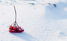 The Branch Guelder Rose Lies On White Snow. Beautiful Winter Background With Guelder Rose