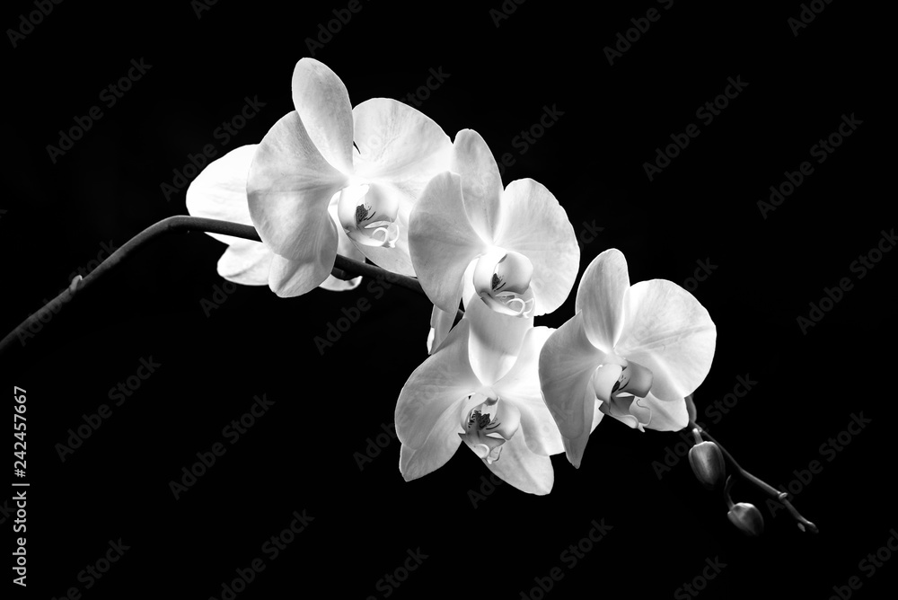 Fototapety, obrazy: blooming branch of white orchids on a black background with stems and buds