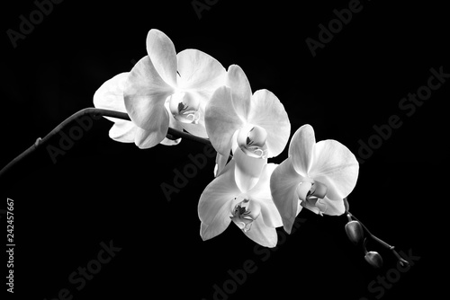 Autocollant pour porte Orchidée blooming branch of white orchids on a black background with stems and buds