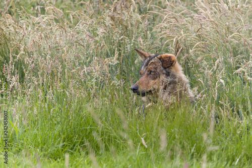 Fotografía  Iberian wolf hidden in high grasses