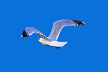 Seagull Flying Away Wings Spread Isolate On Blue Background From Behind