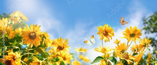 Bright decorative orange flowers of sunflower against blue sky with clouds and fluttering butterflies in spring or warm summer on nature. Panoramic landscape, copy space.