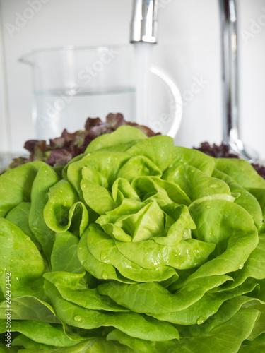 Green lettuce salad head in the kitchen sink.