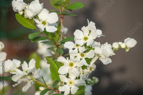 Fototapeta  庭木『Rikyu plum』