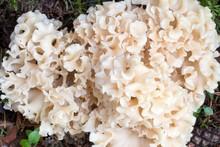 Wood Cauliflower Fungus (Spara...