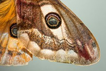 Small Emperor Moth (Saturnia Pavonia), Schwaz, Tyrol, Austria, Europe