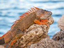Iguana Lizard Resting On Rocks Near Ocean