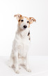 cute short haired collie sitting in studio with white background