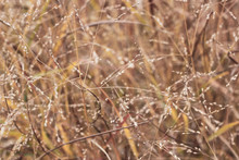 Close Up Background Of Warm Autumn Colors Grass Stems With Seeds. Mess Of Long Standing Brown, Orange And Yellow Culms. Windy Stalks Picture With Focused Twig And Blurred Back