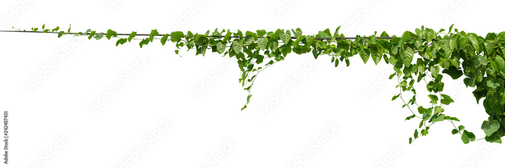 Fototapety, obrazy: vine plant climbing isolated on white background with clipping path included.