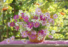 Still Life In A Sunlit Garden With A Bunch Of Cosmos In A Basket