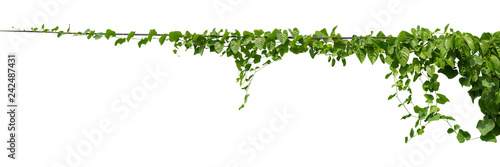 Poster Vegetal vine plant climbing isolated on white background with clipping path included.