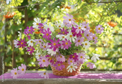 Poster de jardin Univers still life in a sunlit garden with a bunch of cosmos in a basket