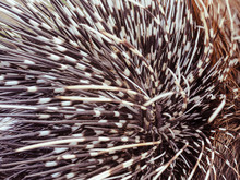 Big Porcupine Quills