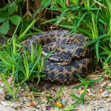 Adder Snake Curled Up. Basking.