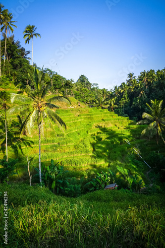 Keuken foto achterwand Asia land Paddy field rice terraces, ceking, Ubud, Bali, Indonesia