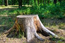 Tree Stump In The Summer Park.
