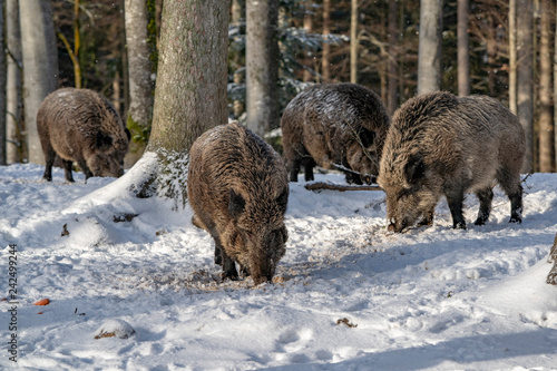 Leinwand Poster wild boar in the snow