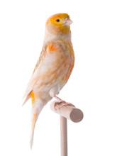 Canary Isolated