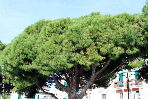 Fotografía  Chioma di pinus pinaster con facciata