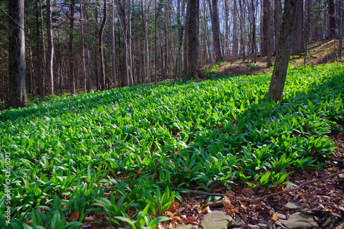 Photo WIld Leeks / Ramps / Ramson (Allium tricoccum) emerging in the spring time forest