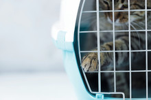 Gray Cat In A Cage For Transportation. Cat Paw Trying To Open The Cage Carrying For Animals. Relocation And Animal Transportation Concept