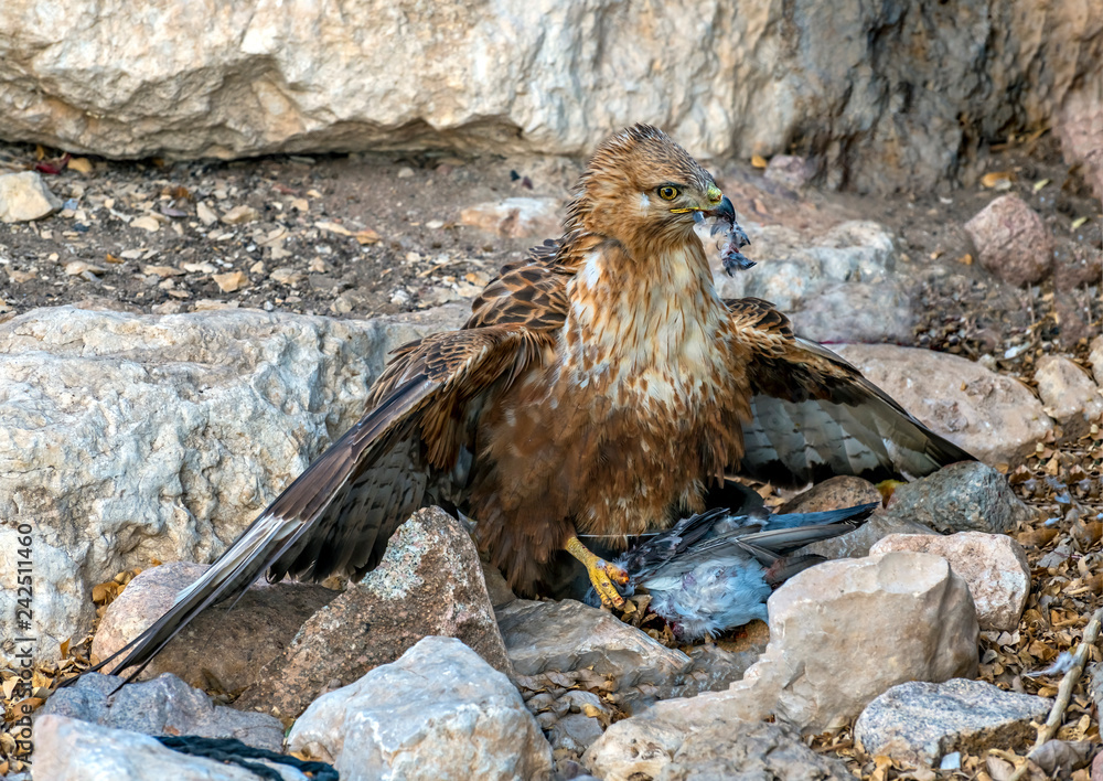 Close up of a golden eagle (Aquila chrysaetos) sitting above his prey - home dove, the eagle shows russet feathers, yellowish eye and yellow and gray beak, stone desert, Israel