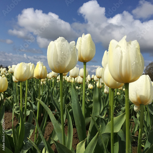 Photo  Ivory colored tulips in a field on a cloud studded spring day
