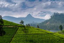 Panorama Of Tea Plantation With Adams Peak, Sri Lanka