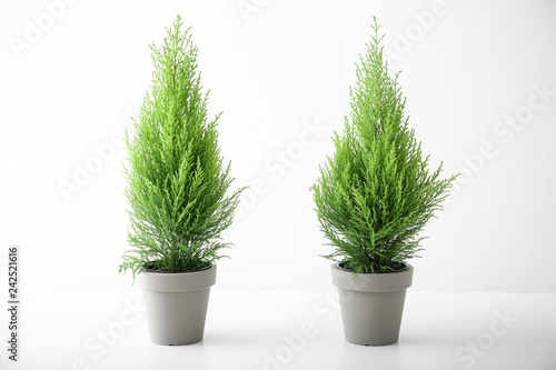 Cypress lemon trees in pots on white background Wallpaper Mural