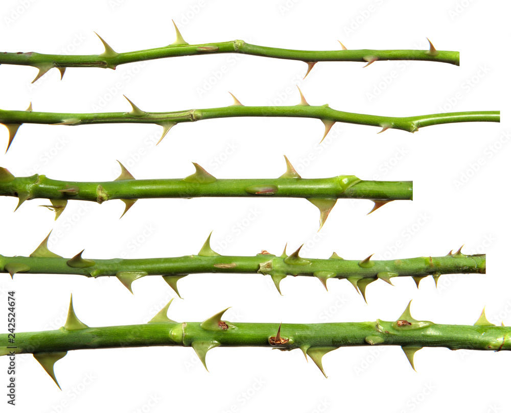 Fototapeta stem of rose bush with thorns on an isolated white background, set