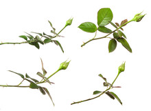 Rose Bud With Foliage Isolate On White Background, Set