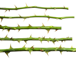 stem of rose bush with thorns on an isolated white background, set