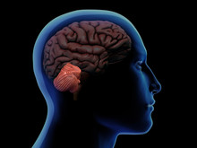 Profile Of Man With Cerebellum Highlighted In Brain