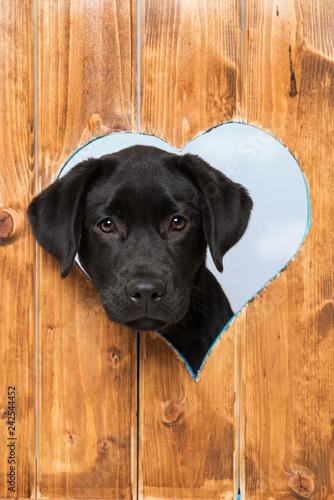 Carta da parati Labrador retriever puppy looks out of a hole in the fence