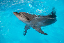 Portrait Of Dolphin In The Poo...