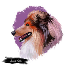 Scotch Collie Pet With Long Fur, Furry Domestic Animal Sticking Out Tongue Pet Hand Drawn Portrait. Graphic Clip Art Design Of Canine Purebred Breed