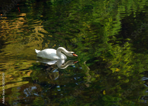 Fotografie, Obraz  Above a Swan and Below a Swan