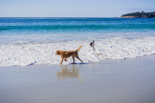 Dogs Playing In The Ocean, Carmel-by-the-Sea, Monterey Peninsula, California