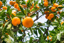 Close Up Of Ripe Tangerines Hanging From Tree Branches, California