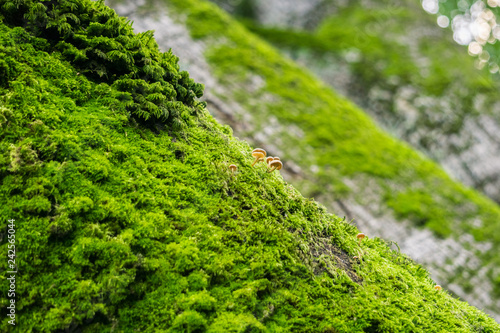 Fotografie, Obraz  Verdant moss and tiny mushrooms growing on the trunks of old oak trees in the fo